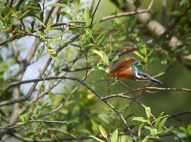 幼鳥の飛翔2